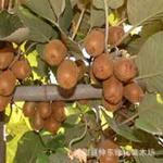批发猕猴桃树猕猴桃种子种子批发进口种子¶