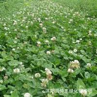 批发白三叶种子草皮类种子批发进口种子¶盆栽种子