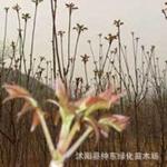 香椿种子种子批发进口种子植物种子¶盆栽种子
