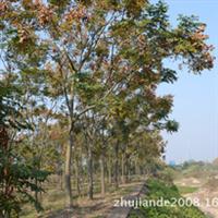 优质供应黄山栾树多种规格工程绿化苗木