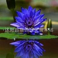 供应水生花卉块茎=睡莲=心向佛蓝星睡莲、睡莲种根水生花卉