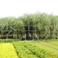 供应6-7-8-10cm的垂柳