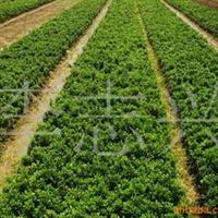 供应1-2年的黄杨工程苗