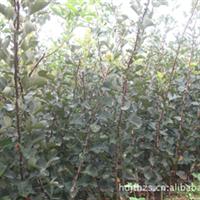 山楂种子海棠种子樱桃种子甜茶种子流苏种子