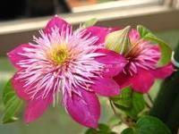 出售藤本植物【铁线莲】番莲、威灵仙、山木通规格齐全