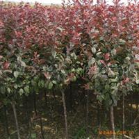 出售观赏树红叶李紫叶李全国可栽培