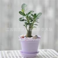 沙漠玫瑰小株200g桌面绿植盆栽吸**净化空气(不带盆)