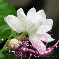 重瓣茉莉花-花香满屋洁白无暇2-3年苗/棵重瓣白色茉莉花低价