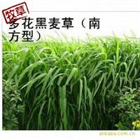 销售多花黑麦草,黑麦草种子(南方型牧草)每斤只售23元!(实物图)