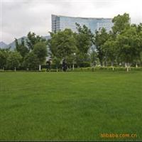 庭院专用草坪,进口早熟禾种子(蓝狐),坪质佳,景观效果好,45一斤!