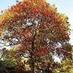 乌��、桊子树、桕树、木蜡树、木油树、木梓树、虹树、蜡烛树