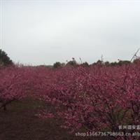 浙江长兴红梅树苗价格远销福建广东四川江苏河南