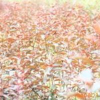 供应大量批发银杏、樱花等绿化苗