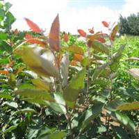 供应绿化苗木北美海棠工程苗北美海棠树北美海棠苗