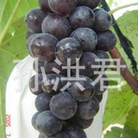 供应最新早熟丰产无核大粒优质夏黑葡萄苗