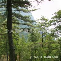 油松\优质松柏类植物\油松价格\油松基地直销15611148088