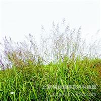 观赏草大油芒(花叶芒\细叶芒\玉带草\丹麦草\吉祥草\观赏草)