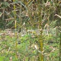 安吉县竹盛苗圃供应黄槽石绿竹斑竹紫竹箬竹红竹近百种观赏竹苗