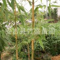 安吉县竹盛苗圃供应金明竹另有刚竹高节竹雷竹等近百种观赏竹苗