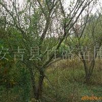 供应各种规格石榴树(图)浙江安吉