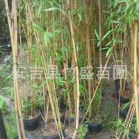 安吉县竹盛苗圃供应金明竹等近百种不雅观赏竹凤尾竹可设计施工养护