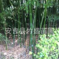 安吉县竹盛苗圃供应毛环水竹另有淡竹早竹斑竹等近百种观赏竹