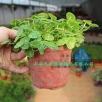 铜钱草盆栽可水培常年观叶特别好养【实物拍照】