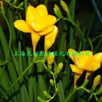 香雪兰盆栽小苍兰香雪兰盆景洋晚香玉当年开花