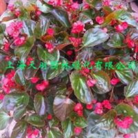 室内花卉*海棠花盆景*玫瑰海棠花四季秋海棠盆栽花卉丽格海棠苗