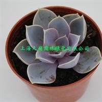 紫珍珠迷你盆栽多肉植物防辐射鲜花花卉天然氧吧净化空气GH
