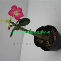 新品花卉多肉植物沙漠玫瑰盆栽净化空气吸收室内的有害气体