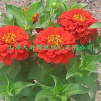 花卉盆栽百日草百日菊观花植物庭院室内盆栽