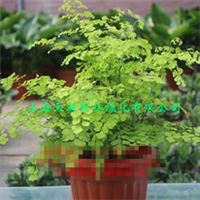 观赏植物铁线菊铁线蕨生物净化器室内盆栽【实物拍照】大盆