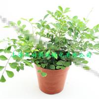 九里香创意绿植盆栽书房卧室客厅桌面花卉盆景带盆栽好(大盆)