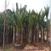 福地苗圃批发供应中东海枣绿化苗木欢迎购买