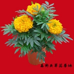 常年供应草花万寿菊,发现,花色全,质量优,价格低,