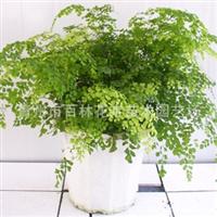 优质铁线蕨观赏性花卉青州厂家直销质优价廉常年供应【图】