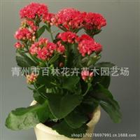 观赏性花卉优质长寿花专业种植质优价廉常年大量供应【图】