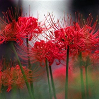 红色彼岸花种球盆栽又称曼珠沙华|红花石蒜球根|促销价