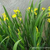 黄菖蒲水生鸢尾黄花鸢尾池塘绿化河畔绿化水生花卉