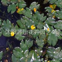 水生植物萍蓬草浮萍浮莲荇菜