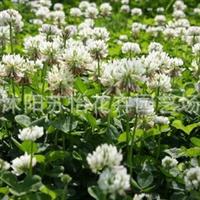 白三叶种子白花三叶草批发阳台草坪植物牧草花卉花草种子1斤