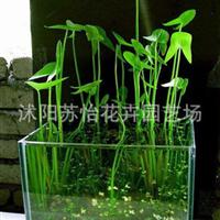 水生植物慈菇慈姑燕尾也可以盆栽水培植物净化水质