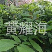 广西火焰花树苗、无忧花种苗、出售火焰花一年苗