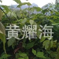 中国无忧花、火焰花树苗、广西崇左火焰花树