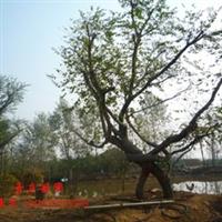 供应造形朴树,成活率高,树形优美,造形奇特!