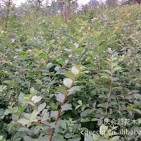 紫薇苗百日红各种规格量大从优