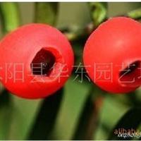 批发供应红豆杉种子,190元250克