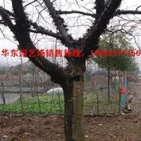 供应皂角树,乔木等各种高杆行道树