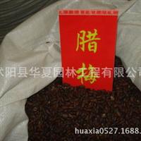 优质新品种腊梅种子